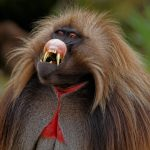 "A male Gelada (Theropithecus gelada) folding its upper lip in a display of ""grin"" behavior. Simien Mountains, Ethiopia"
